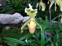 Silver sword lady slipper rare orchid Stock Photo