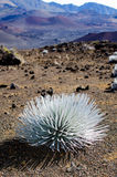 Silver sword plant. In Haleakala Crater on Maui, Hawaii Royalty Free Stock Image