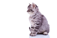 Silver tabby baby cat looking at something. Side image of a cute silver tabby baby cat looking at something on white background royalty free stock image