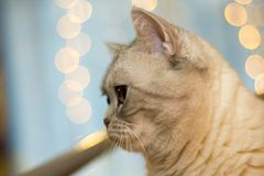 Silver tabby british cat royalty free stock photo