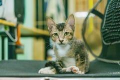 Silver Tabby Cat Royalty Free Stock Photo