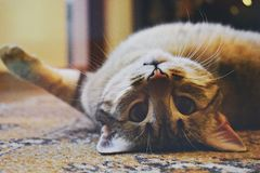 Silver Tabby Cat royalty free stock images