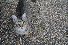 Silver Tabby Cat Royalty Free Stock Image