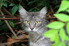 Silver tabby cat in garden Royalty Free Stock Images