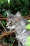 Silver tabby cat in garden Stock Image