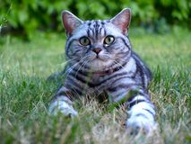 Silver tabby cat on grass Stock Images