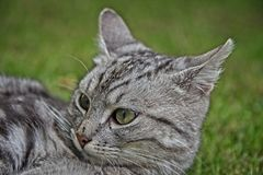 Silver tabby cat. Head shot of silver tabby kitten male cat in the grass Royalty Free Stock Photography