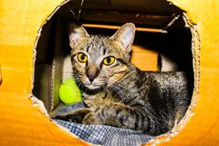 Silver Tabby Cat Inside a Brown Cardboard Box Royalty Free Stock Image