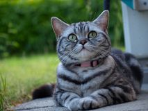 Silver tabby cat laying Royalty Free Stock Photo