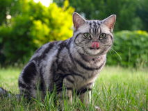 Silver tabby cat licking with tongue Stock Photo