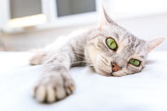 Silver tabby cat lying on a bed Royalty Free Stock Photo