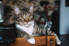 Silver Tabby Cat Lying on Brown Wooden Bench stock photography
