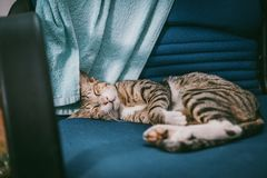 Silver Tabby Cat Lying on Teal Padded Chair royalty free stock image