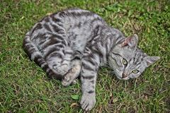Silver tabby cat. Silver tabby kitten male cat in the grass Royalty Free Stock Images