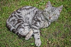 Silver tabby cat. Silver tabby kitten male cat in the grass Royalty Free Stock Photography
