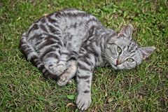 Silver tabby cat. Silver tabby kitten male cat in the grass Royalty Free Stock Image