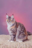 Silver tabby maine coon kitten, 5 month Royalty Free Stock Images