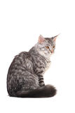 Silver tabby maine coon kitten, 5 month Royalty Free Stock Photo