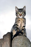 Silver tabby. Portrait of a silver tabby cub sitting on a concrete pillar of a wooden fence Royalty Free Stock Photos