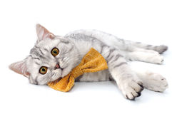 Silver tabby Scottish cat with golden bow tie Royalty Free Stock Photos