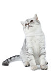 Silver tabby Scottish cat sitting and looking up Stock Images