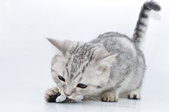 Silver tabby Scottish kitten  playing Stock Images