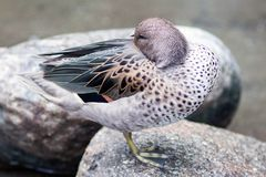 Free Silver Teal Duck Stock Images - 128463884