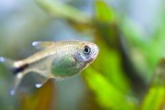 Silver Tetra aquarium fish. freshwater tank with plants Stock Photos