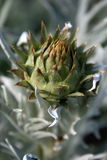 Silver Thistle Royalty Free Stock Photos