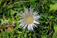 Silver thistle bloom in grass. Alpine flora: Topview image of a flowering plant, the Silver thistle, growing in the alpine region of Allgäu Alps, Europe Royalty Free Stock Photography