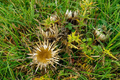 Silver Thistle Stock Image