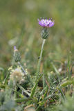 Silver Thistle Royalty Free Stock Photography
