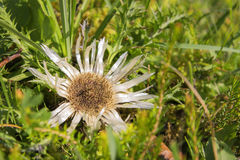 Silver thistle Royalty Free Stock Images