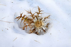 Silver thistle in the snow (autumn), Italy Stock Photo