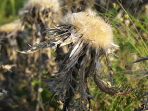Silver Thistle in your magnificent form Royalty Free Stock Photos