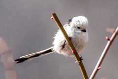 The Silver-throated Bushtit Royalty Free Stock Images