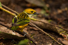 Silver Throated Tanager Royalty Free Stock Images