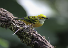 Silver-throated Tanager (Tangara icterocephala) Royalty Free Stock Photo