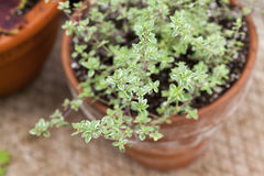 Silver Thyme Royalty Free Stock Image