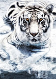 Silver tiger Royalty Free Stock Image
