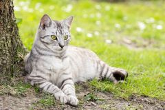 Silver tigrated cat with green eyes. Relaxing at the tree in a hot day Stock Images