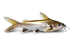 Free Silver-tipped Shark Catfish Ariopsis Seemanni Silver Tipped Aquarium Fish Isolated Royalty Free Stock Photo - 72113655