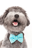Silver toy poodle with bow tie Stock Photos