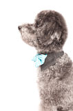 Silver toy poodle with bow tie Royalty Free Stock Image