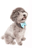 Silver toy poodle with bow tie Royalty Free Stock Photo