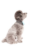 Silver toy poodle with bow tie Stock Photo