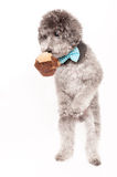 Silver toy poodle with bow tie Royalty Free Stock Images