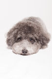 Silver toy poodle with bow tie Royalty Free Stock Photography