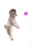 Silver toy poodle play ball Stock Image