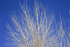 Silver Trees silhouetted by blue sky Royalty Free Stock Image